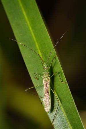 Image of Rice bug (Leptocorisa oratorius) on green leaves. Insect, Animal.