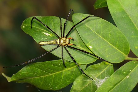 Image of Golden Long-jawed Orb-weaver Spider(Nephila pilipes) on a green leaf. Insect. Animal