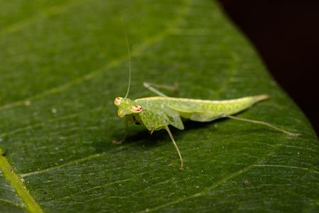 Image of green mantis(Hierodula patellifera) on leaves. Insect, Animal.