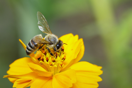 Image of bee or honeybee on yellow flower collects nectar. Golden honeybee on flower pollen. Insect. Animal