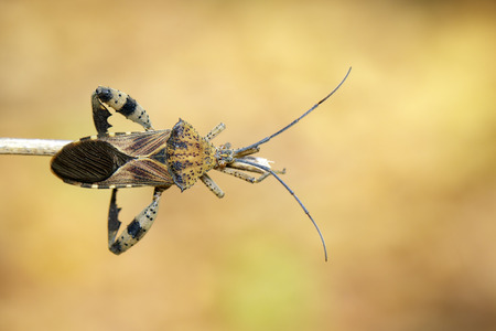 Image of Groundnut Bug, Acanthocoris sordidus (Coreidae) on branch on natural background. Insect. Animal.