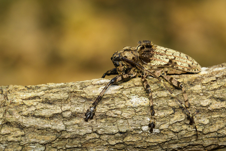 Image of Cerambycidae bug (Moechotypa suffusa) on branch on natural background. Insect. Animal.