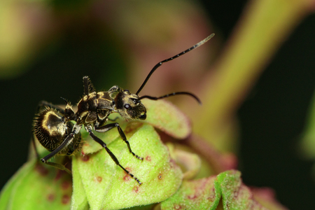 Image of an ant (Polyrhachis dives) on green leaf. Insect. Animal.
