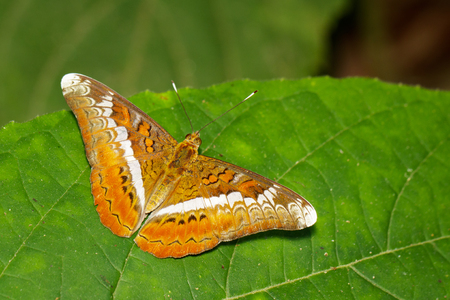 Image of The Knight butterfly (Lebadea martha Fabricius, 1787) on green leaves. Insect. Animal Stock Photo