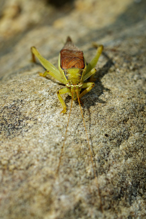 Image of a cricket (Trigonidiidae, Tettigoniidae) on the rocks. Insect. Animal.