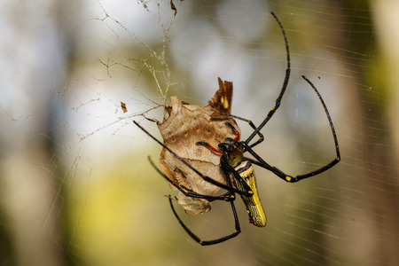Image of Golden Long-jawed Orb-weaver Spider(Nephila pilipes) eating dead butterflies on the spider web. Insect. Animal