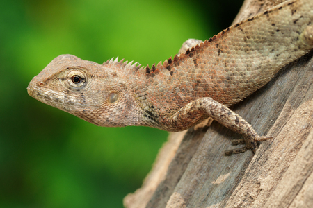 Image of brown chameleon on the tree on the natural background. Reptile. Animal.