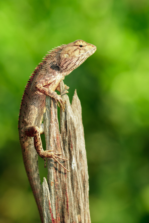 Image of brown chameleon on the stumps on the natural background. Reptile. Animal. Stock Photo