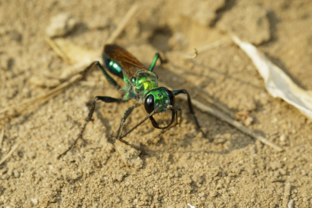 Image of Jewel Wasp or Emerald cockroach wasp (Ampulex compressa) on the ground. Insect. Animal.