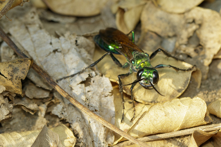 Image of Jewel Wasp or Emerald cockroach wasp (Ampulex compressa) on dry leaves. Insect. Animal.
