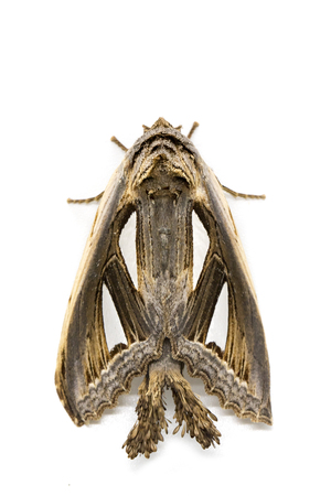 Image of brown moth isolated on a white background. Insect. Animal. Butterfly.