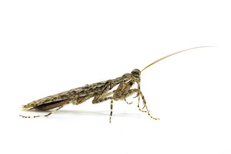 Image of Camouflaged bark mantis (Liturgusa sp.) on white background. Insect. Animal.