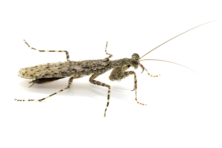 Image of Camouflaged bark mantis (Liturgusa sp.) on white background. Insect. Animal.