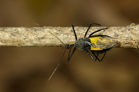 Image of Assassin bug (Sycanus croceovittatus) on the branch. Insect. Animal.
