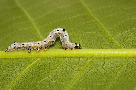 Image of Worms (caterpillars) on green leaf. Insect. Animal.