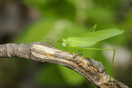 Image of green bush-cricket long horned grasshopper on brown branch. Insect. Animal. Stock Photo