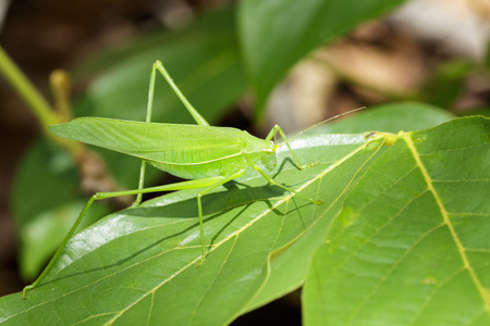 Image of green bush-cricket long horned grasshopper on green leaf. Insect. Animal.