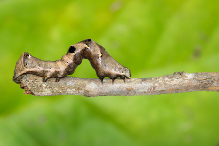 Image of brown caterpillar on a brown branch. Insect. Brown worm. Animal. Stock Photo