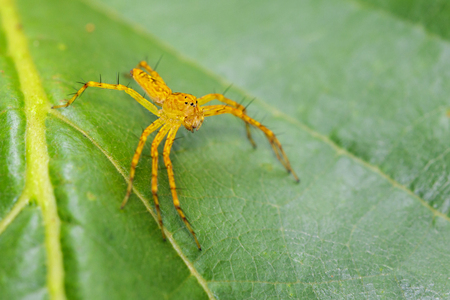 Image of lynx spider on the green leaf. Beautiful spider orange., Insect. Animal.