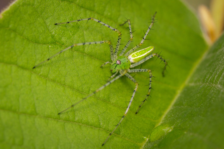 Image of Malagasy green lynx spider (Peucetia madagascariensis) on green leaf. Insect. Animal. Stock Photo