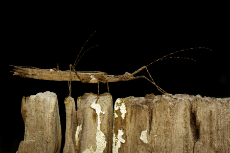 Image of a siam giant stick insect and stick insect baby on dried stump. Insect Animal.