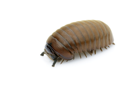 Image of pill millipede(Oniscomorpha) isolated on a white background. Insect. Animal. Stock fotó