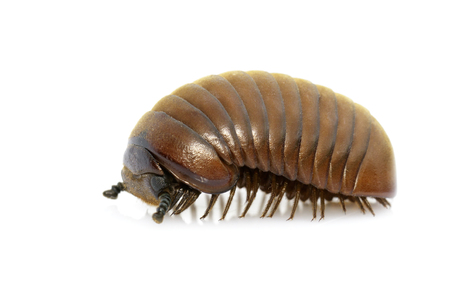 Image of pill millipede(Oniscomorpha) isolated on a white background. Insect. Animal. Imagens