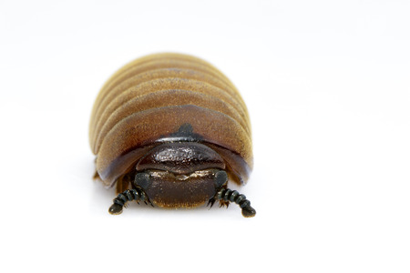 Image of pill millipede(Oniscomorpha) isolated on a white background. Insect. Animal. Stock Photo