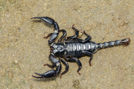Image of emperor scorpion (Pandinus imperator) on the ground. Insect. Animal.
