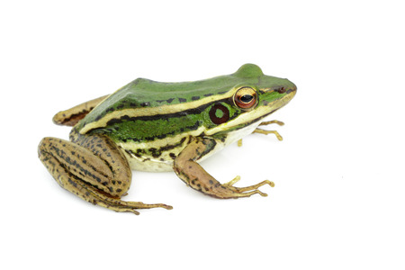 Image of paddy field green frog or Green Paddy Frog (Rana erythraea) on a white background. Amphibian. Animal. Stockfoto