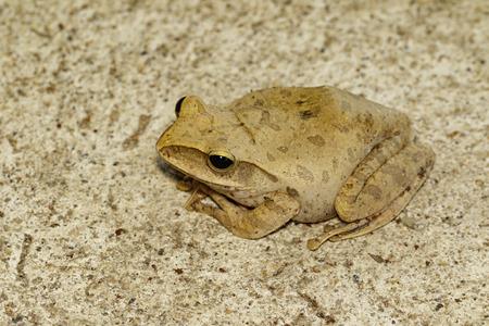 Image of Frog, Polypedates leucomystax,polypedates maculatus on tiled floor.  Amphibian. Animal.