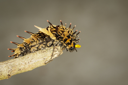 Image of golden birdwing caterpillar on the tree branch. Insect. Worm. Animal. Imagens
