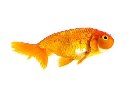 Image of goldfish isolated on white background . Animal. Pet.
