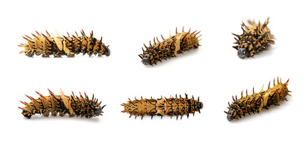 Group of golden birdwing caterpillar isolated on a white background. worm. Insect. Animal.