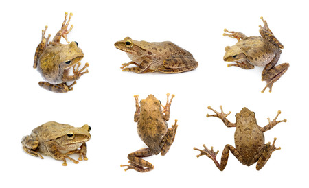 Group of brown frog, Polypedates leucomystax,polypedates maculatus isolated on a white background. Amphibian. Animal.