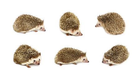 Group of small hedgehog isolated on white background. Wild Animals.
