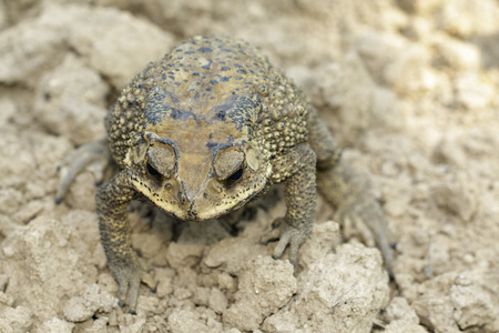 Image of toad(bufonidae) is on the soil lump. Amphibian. Animal. Stock Photo