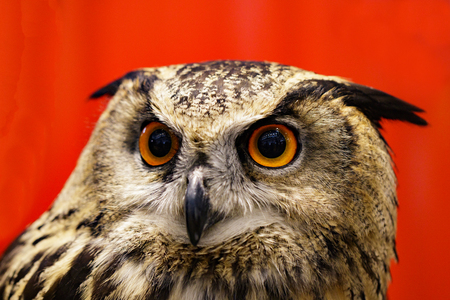 Image of an owl on red