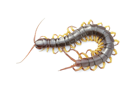 Image of centipedes or chilopoda isolated on white