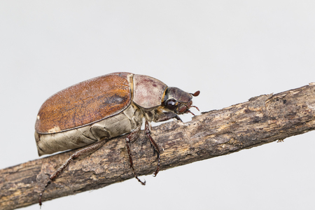 Image of cockchafer (Melolontha melolontha) on a branch on white