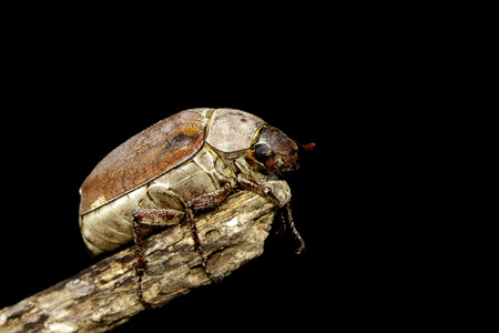 Image of cockchafer (Melolontha melolontha) on a branch on black
