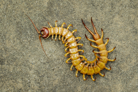 Image of dead centipedes or chilopoda on the ground. Animal. poisonous animals.