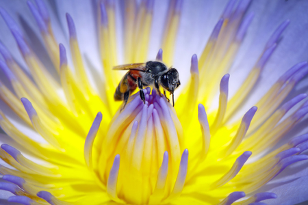 Image of bee or honeybee on the lotus pollen collects nectar.