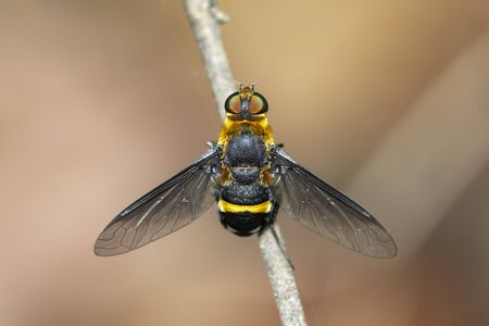 Image of hoverfly(Syrphidae) on branch on a natural background. Insect. Animal.