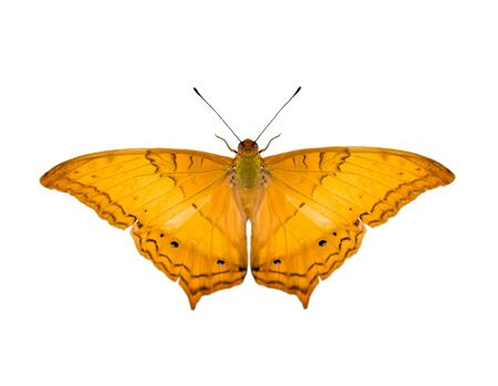 Bild des gemeinsamen Kreuzer-Schmetterlings (Vindula Erota Erota) isoliert auf weißem Hintergrund. Insekt. Tiere. Standard-Bild