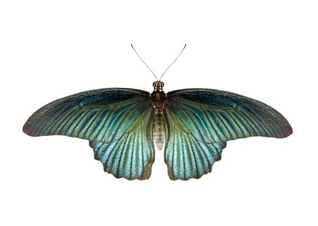 Image of male great mormon butterfly (Papilio polytes) isolated on white background. Insect. Animals.