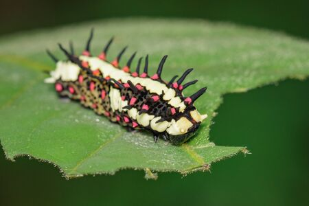 Image of Caterpillars of common mime on green leaves on a natural background. Insect. Animal.
