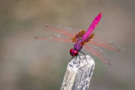 Image of crimson dropwing dragonfly(Male)/Trithemis aurora on nature background. Insect. Animal