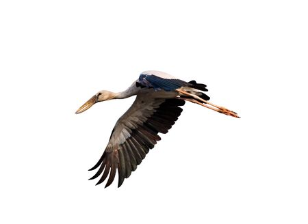 Image of Asian Openbill stock flying on white background. Bird. Animal.