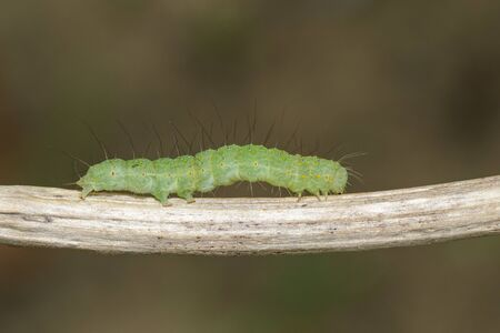 Image of green caterpillar on the branches on a natural background. Insect. Animal.